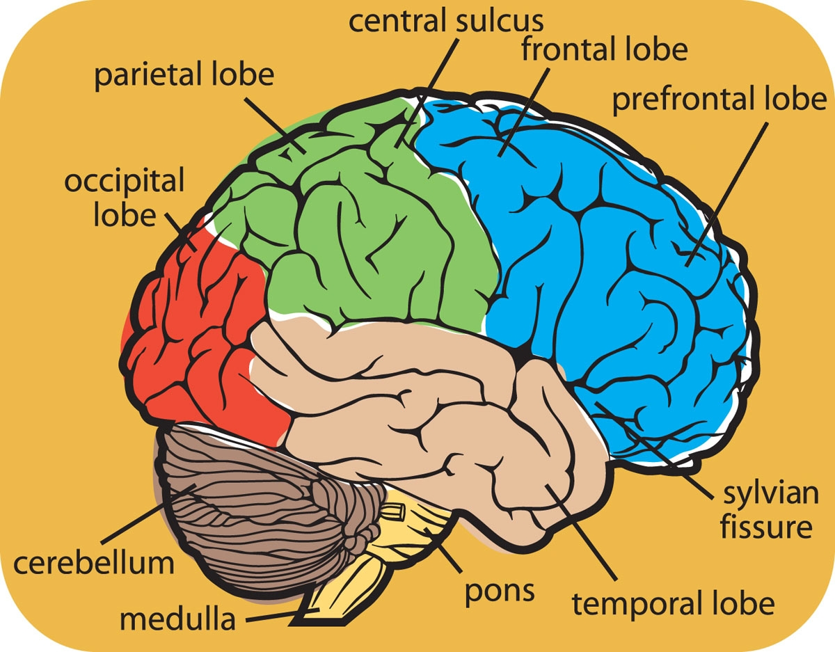 Brain Structures For Memory