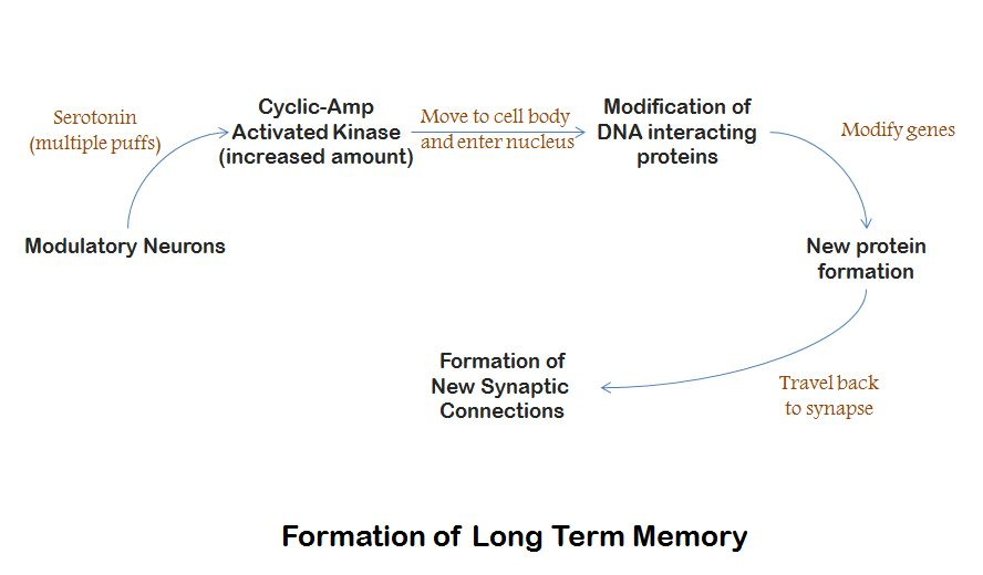 the longest memory techniques and structure Study 60 cognitive psychology exam 2 flashcards from samantha f on studyblue the hippocampus is an important brain structure involved in memory that is located in the _____ which of the following is retained in memory for the longest period of time.